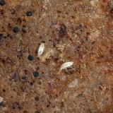 Cyphoderus similis