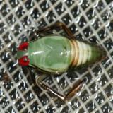 Notonecta sp. (nymph)