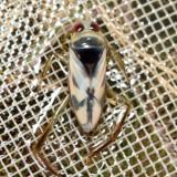 Notonecta insulata
