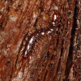 Stone Centipede - Lithobiomorpha