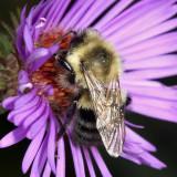 Common Eastern Bumble Bee - Bombus impatiens