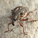 Rhinoncus pericarpius