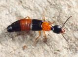 Bisnius blandus