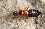 Apocellus sp.