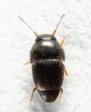 Acrotrichis sp.