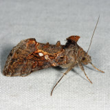 8890 - Soybean Looper - Chrysodeixis includens