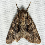9419 - Adorable Brocade - Platypolia mactata