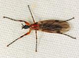 Bibio longipes