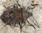 Four-humped Stink Bug - Brochymena quadripustulata