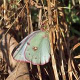 White form Sulphur - Colias sp.