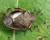Holcostethus limbolarius