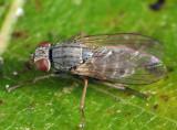 Caricea erythrocera