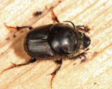 Bull Headed Dung Beetle - Onthophagus taurus