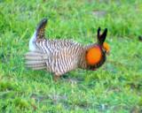 Greater Prairie Chicken - Tympanuchus cupido