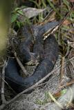 Florida Cottonmouth - Agkistrodon piscivorus conanti