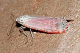 8105 -- Rattlebox Moth - Utetheisa ornatrix