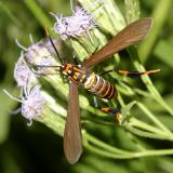 8287 -- Texas Wasp Moth -- Horama panthalon texana