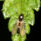 Cricotopus bicinctus (female)