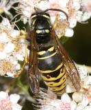 Vespula vidua (male)