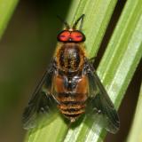 Deer Flies - subfamily Chrysopsinae