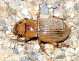 Geopinus incrassatus