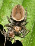 Phidippus whitmani (female eating her mate)