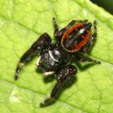 Jumping Spiders - Genus Phidippus