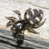 Jumping Spiders - Genus Salticus