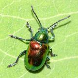 Leaf Beetles -  Subfamily Eumolpinae - Oval Leaf Beetles