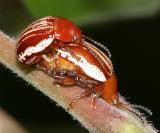 Blepharida rhois