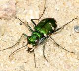 Tiger Beetles - Cicindelinae