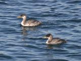 Red-necked Grebes - Podiceps grisegena
