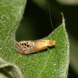 Pre-Tortricid Micros Moths 0001-2700
