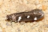2187 - Six-spotted Aroga Moth - Aroga compositella