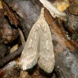 2283 -- Spotted Dichomeris-- Dichomeris punctidiscella