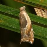 3359 -- Black-marked Ancylis Moth -- Ancylis metamelana