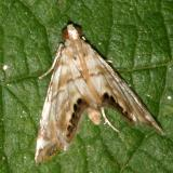 4777 -- Feather-edged Petrophila Moth -- Petrophila fulvicalis