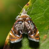 2629 -- Skullcap Skeletonizer Moth -- Prochoreutis inflatella