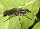 Ozodiceromyia argentata