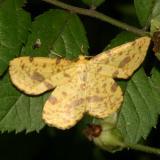 6740-44 -- Crocus Geometer Species Group -- Xanthotype sp.