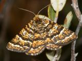 Geometroidea Moths - 6256-7662