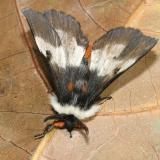 7732 - New England Buck Moth -  Hemileuca lucina