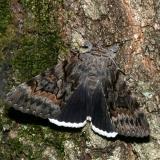 8773 -- Epione Underwing Moth -- Catocala epione