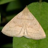 8348 -- Grayish Zanclognatha Moth -- Zanclognatha pedipilalis