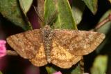 6436 -- Cranberry Spanworm Moth -- Ematurga amitaria