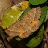 6832 -- Yellow-washed Metarranthis Moth -- Metarranthis obfirmaria