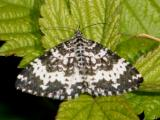 7293 -- Spear-marked Black Moth -- Rheumaptera hastata