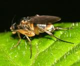 Spiniphora sp. (male)