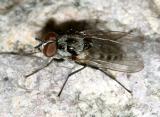 Anthomyia procellaris/ottowana