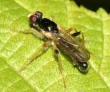 Leaf-mining Dung Fly -  Cordilura sp.
